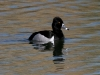 duck-ringed-neck-no1-gwp-03-21-06