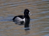 duck-ringed-neck-no2-gwp-03-21-06