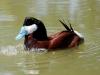 duck-ruddy-blowing-air-gwp-04-13-06