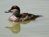 duck-ruddy-female-no1-gwp-04-13-06