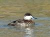 duck-ruddy-no1-gwp-02-06-06