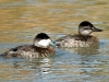 duck-ruddy-no2-gwp-02-06-06