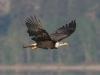 eagle-bald-kelowna-bc-5-12-06