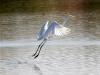 egret-great-no1-gwp-02-01-06