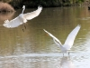 egret-great-no1-gwp-02-03-06
