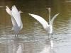 egret-great-no2-gwp-02-03-06