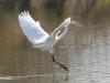egret-great-no3-gwp-02-03-06