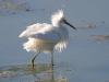 egret-snowy-no1-gwp-04-07-06