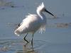 egret-snowy-no2-gwp-04-07-06