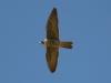 falcon-perigrine-gwp-04-02-06