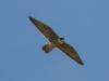 falcon-perigrine-no2-gwp-04-02-06