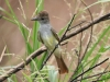 flycatcher-brown-crested-maricopa-aug-2006
