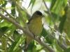goldfinch-lesser-no2-gwp-04-28-06
