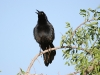 grackle-great-tailed-no1-gwp-04-29-06