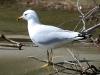 gull-ring-billed-no2-kelowna-5-13-06