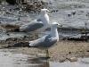 gull-ring-billed-no3-kelowna-5-13-06